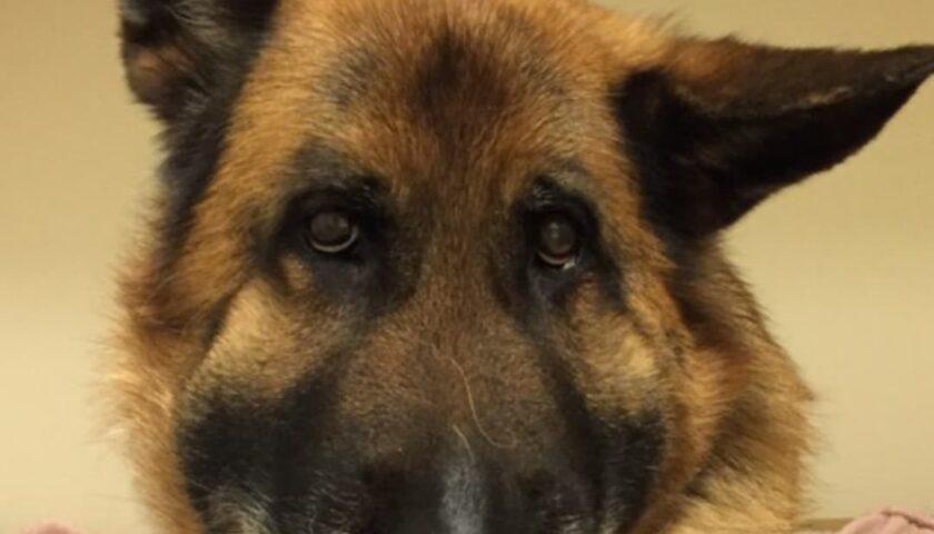 Huggormsbett på hund