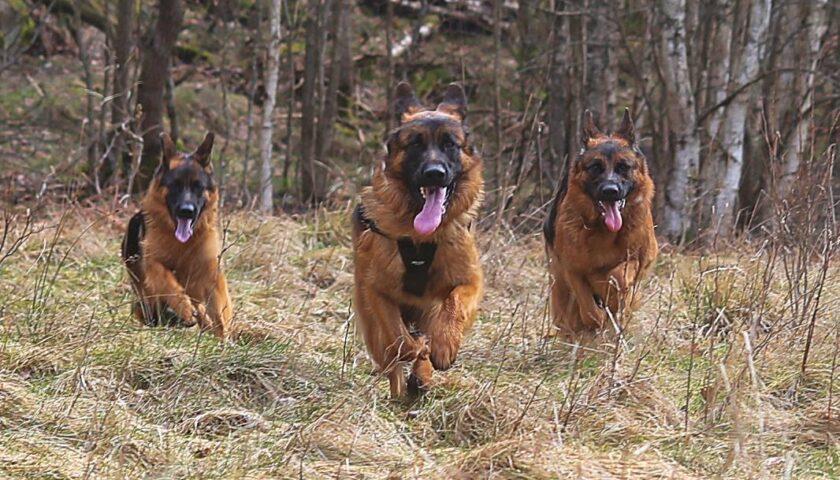 Stor ökning av sammandrabbningar mellan vildsvin och hundar