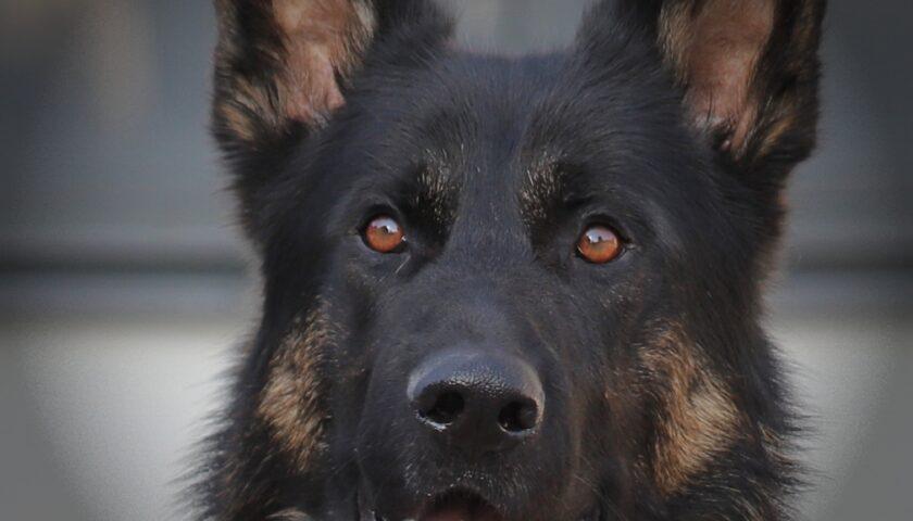 Hundar tränas för att upptäcka Covid 19